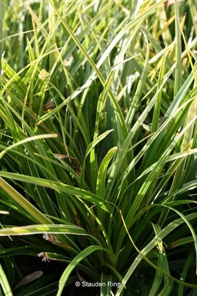 Japan-Segge - Carex morrovii ´Variegata`
